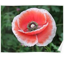 Poppy Perfection. Poster
