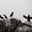 North Atlantic Puffins by Gail Falcon