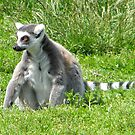 Ring Tailed Lemur by Kirsty Auld