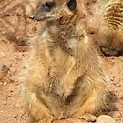 Meerkat in the Sun by Kirsty Auld