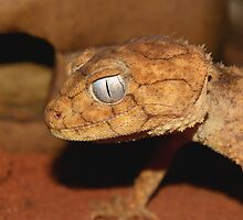 Centralian Prickly Knob-tailed Gecko. by Dean Baxter