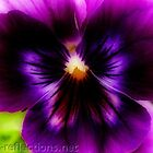 Pansy by Ingrid Funk