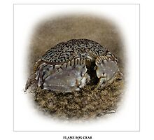 FLAME BOX CRAB Calappa flammea (NOT A PHOTOGRAPH) PLEASE READ BLURB by DilettantO