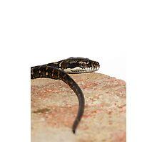 Hatchling Coastal Python. Photographic Print