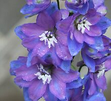 Two Toned Blue Larkspur In The Rain. by Tracy Wazny