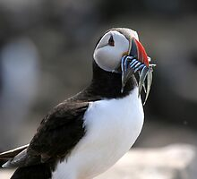 Puffin (Fratercula arctica) by Tom Curtis