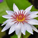 White Water Lily by Jeff Ore
