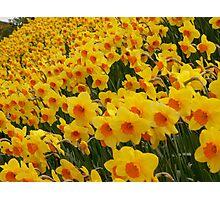 Daffodils in Cornwall Photographic Print