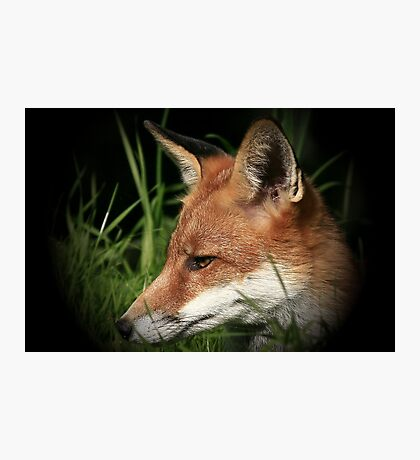 Laying In Wait / Red Fox - None Captive Photographic Print