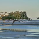 Clairview Mangroves  Panorama  by Virginia  McGowan