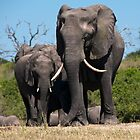 Chobe Elephants by Olwen Evans