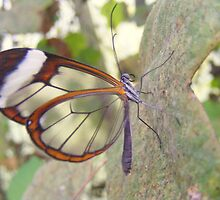 Glasswing Butterfly. by Livvy Young
