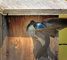Tree Swallow Feeding Young by Vickie Emms