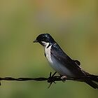 Tree Swallow On A Fence by Vickie Emms