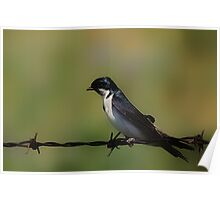 Tree Swallow On A Fence Poster