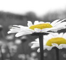 Daisy Field by mollywally
