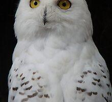 snowy owl by purpleminx