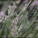 Lavender by JulieLegg