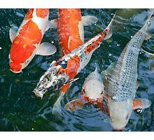nishikigoi  [japanese carp] Photographic Print