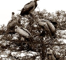 The Safari Series - 'Vultures 2' by Paige
