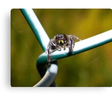 Curious little jumping spider. Canvas Print