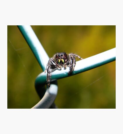 Curious little jumping spider. Photographic Print