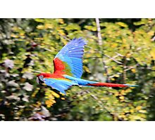 Red-and-green Macaw (Ara chloropterus)  Photographic Print