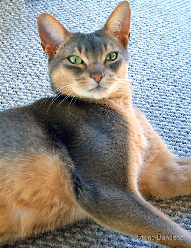 Quot Generic Abyssinian Blue Male Cat Quot By Vicktorya Stone