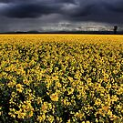 Canola Field by Stephen Ruane