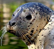Young Harbor Seal by Jo Nijenhuis