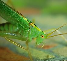 Oak bush Cricket.   by relayer51