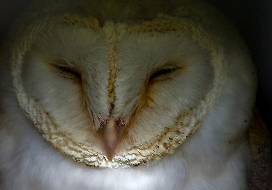Barn Owl #1 by Trevor Kersley