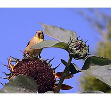 Queen Of The Sunflower Photographic Print