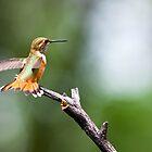 Rufous Hummingbird by pandapix