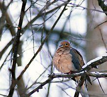 Morning Dove in Winter by Bill Spengler