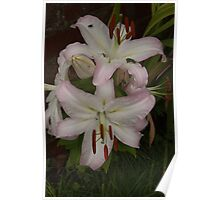 White/Purple Asiatic Lily Poster