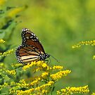 Monarch by Lynda   McDonald