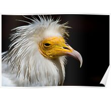 Egyptian Vulture - (Neophron percnopterus) Poster