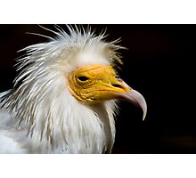 Egyptian Vulture - (Neophron percnopterus) Photographic Print