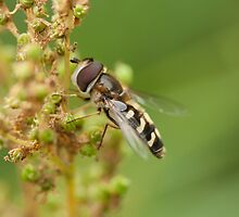 Hoverfly by Jon Lees
