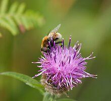 Eristalis intricarius hoverfly by Jon Lees