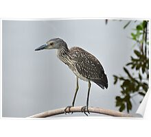 A Juvenile Yellow-Crowned Night Heron Poster