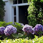 PURPLE HYDRANGEAS GREET VISITORS by Joan Harrison