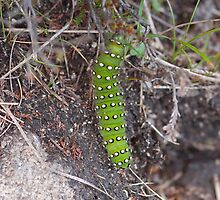 Emperor Moth caterpillar by Jon Lees