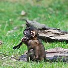 Barbary Monkeys,Primates, Small, young, babies, Animals,  by Elaine123