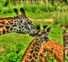 Giraffe Kiss by jjacobs2286