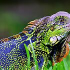 Green Iguana (Iguana iguana) - Costa Rica by Jason Weigner