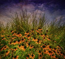 Black Eyed Susans and Zebra Grass by Christine Annas