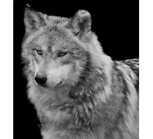 Silver Wolf Photographic Print