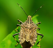 stinkbug by davvi